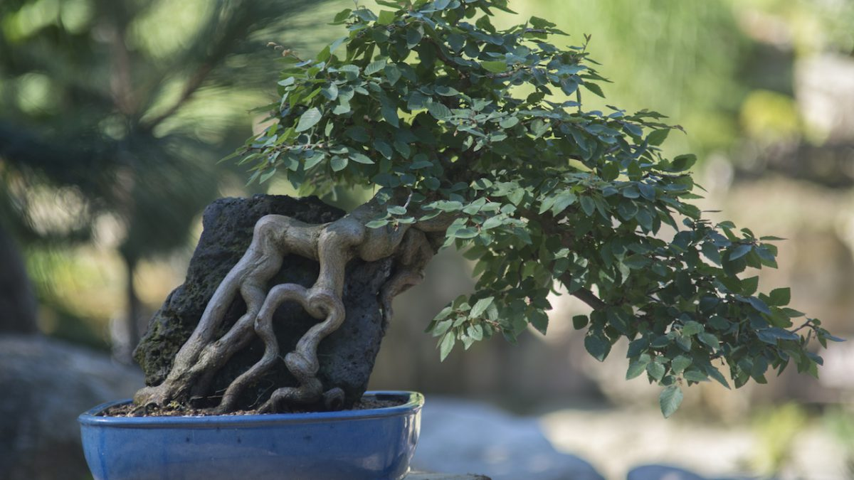 drzewo bonsai w ogrodzie japońskim siruwia