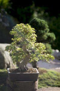wystawa bonsai w ogrodzie japońskim