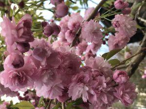 Kwitnące wiśnie w ogrodzie japońskim