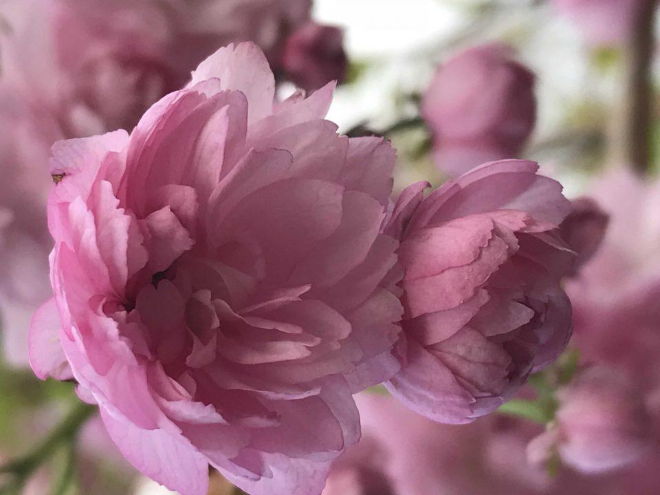 święto kwitnących wiśni w ogrodzie japońskim