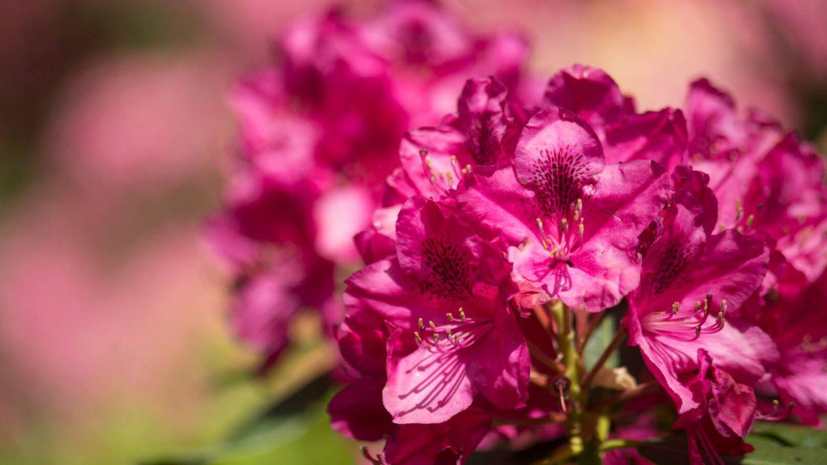 kwiat japoński w ogrodzie siruwia
